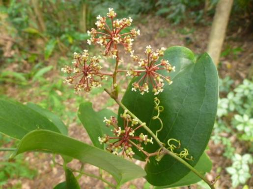 サツマサンキライの花と葉