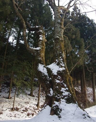 20170122熊野諏訪神社トチノキ