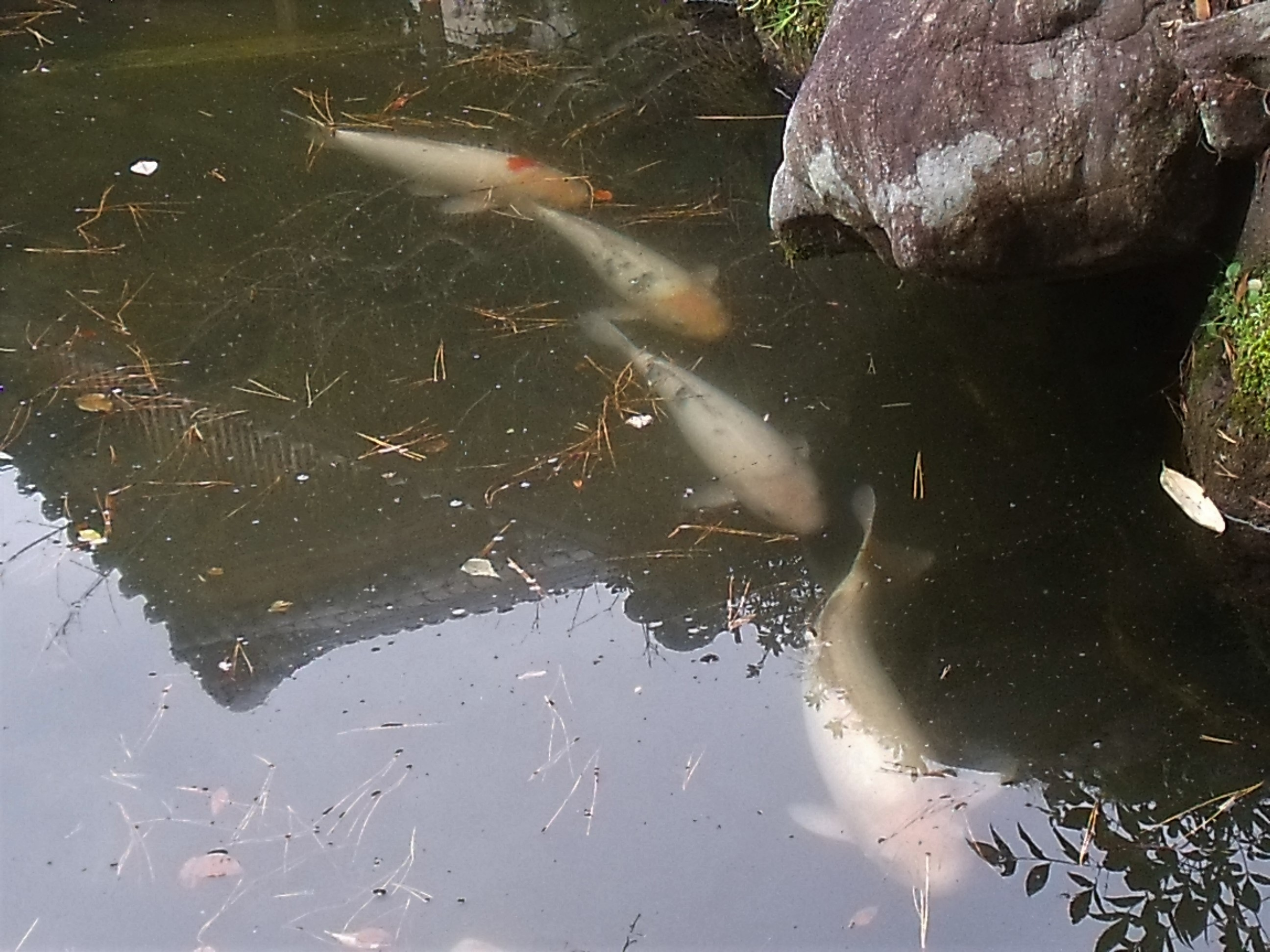 池の庭の鯉達