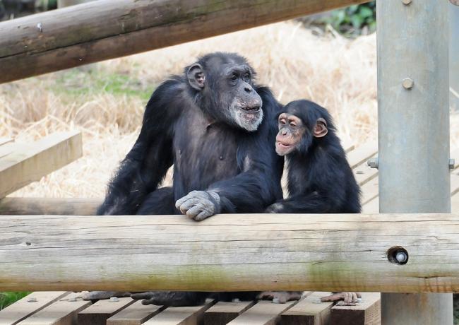 10737-チンパンジー-6