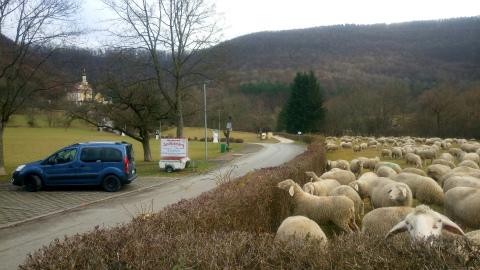 アヴェと羊1