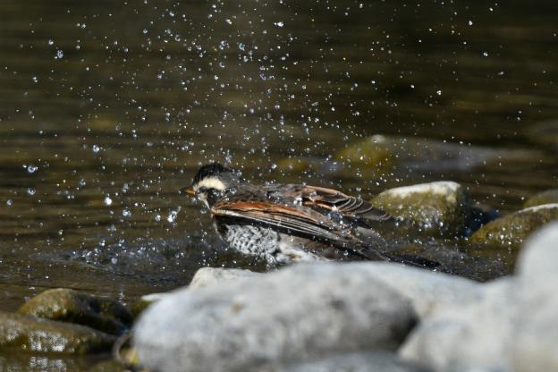 ツグミ水遊び