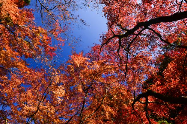 秋色もみじ