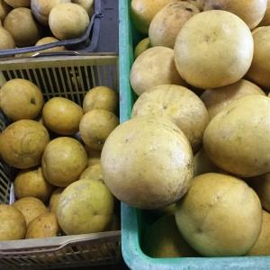 パール柑収穫最終日