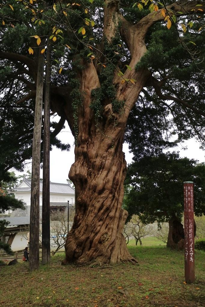 小田原城跡のイヌマキ