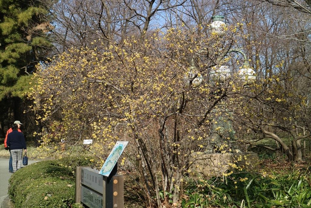 早くもロウバイが咲いていた_1