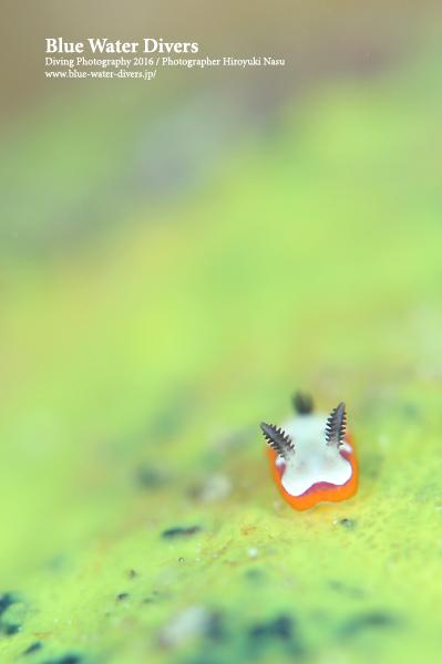 フジナミウミウシ