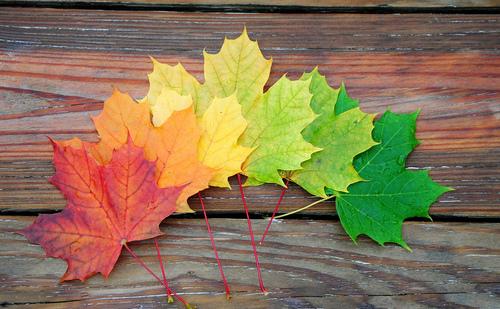 カエデっぽい葉っぱのグラデーション