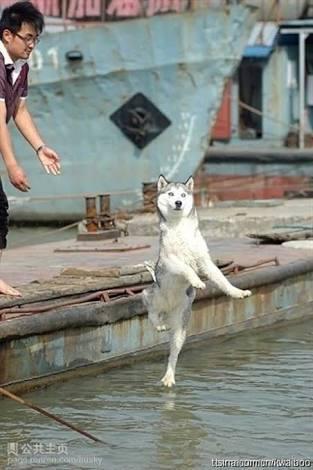 港で落ちていくシベリアンハスキーっぽい犬