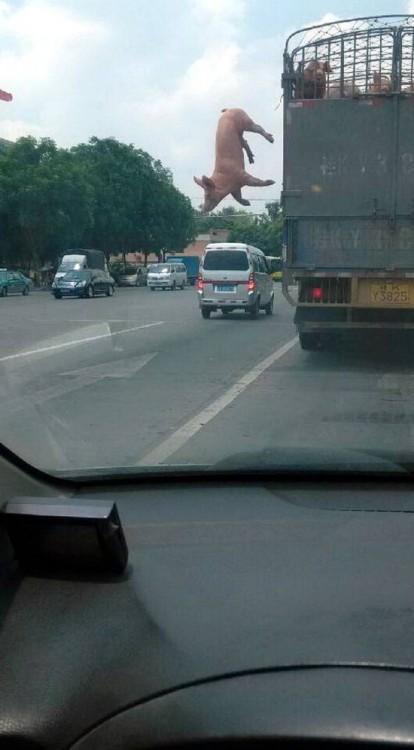 トラックの荷台から決死のダイブ…豚さん
