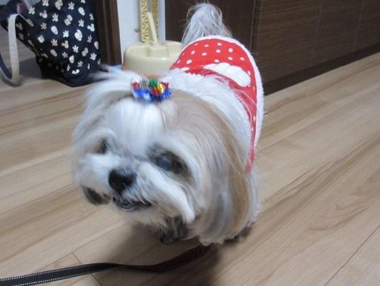 11苺ちゃんシーズー10才 笑顔 12.17 20161215 12ワンズ
