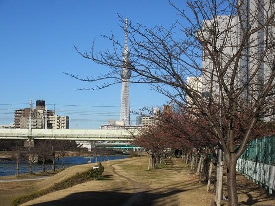 ・D01 河津桜 0202