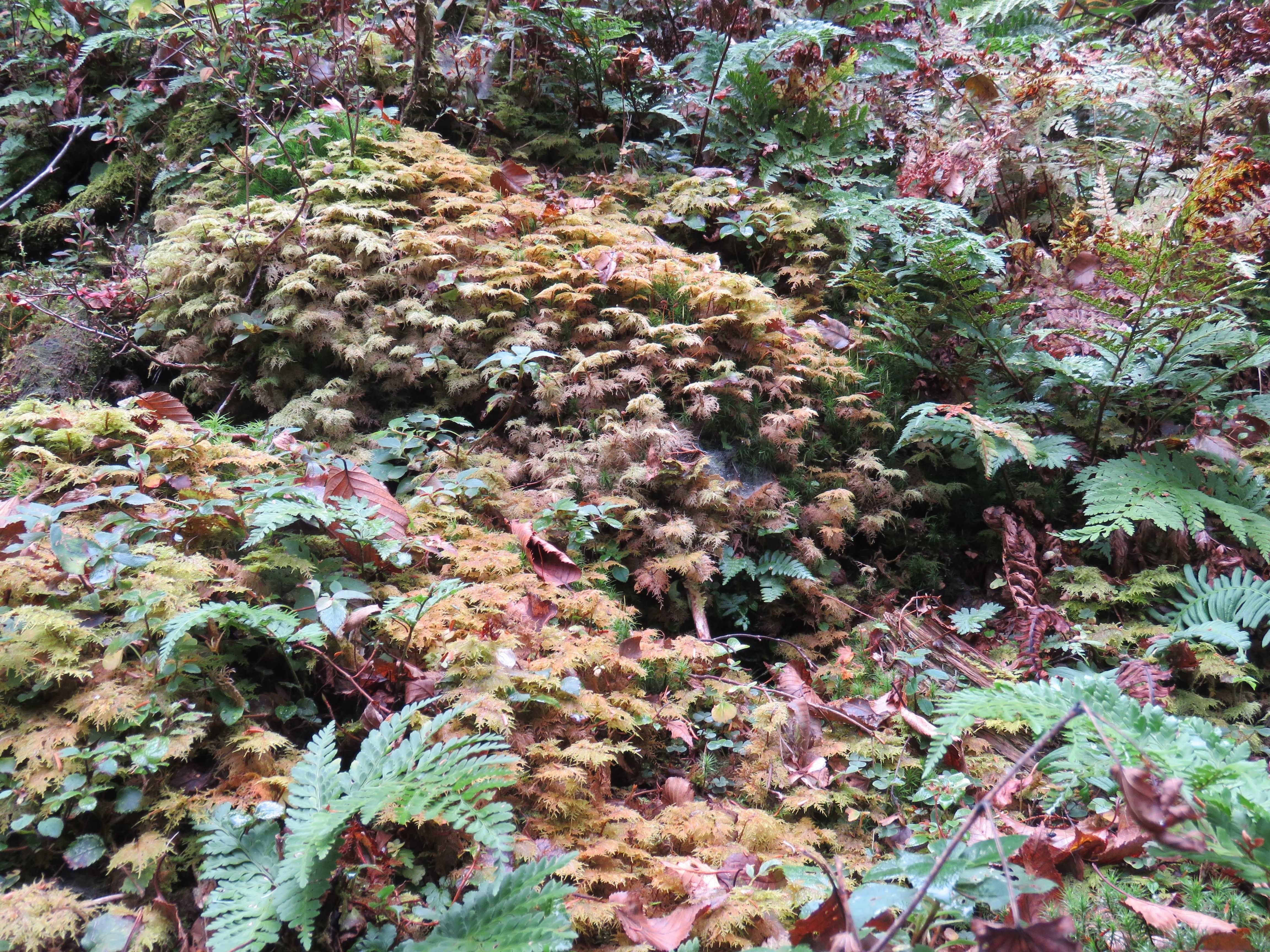 苔の紅葉_181008