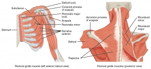 1118_Muscles_that_Position_the_Pectoral_Girdle.jpg