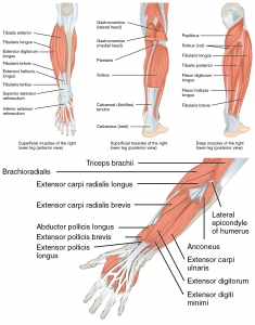 1123_Muscles_of_the_Leg_that_Move_the_Foot_and_Toes-vert.jpg