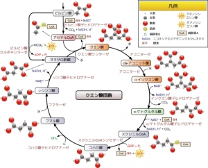 500px-Citric_acid_cycle_with_aconitate_2_ja.jpg
