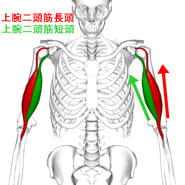 Biceps_brachii_muscle06_201611120842464c1.png