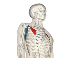 Pectoralis_minor_muscle_and_shoulder_blade_20170210063238520.png