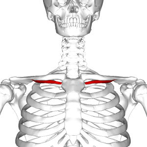Subclavius_muscle_frontal2.png