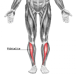 Tibialis_2016120406550649e.png