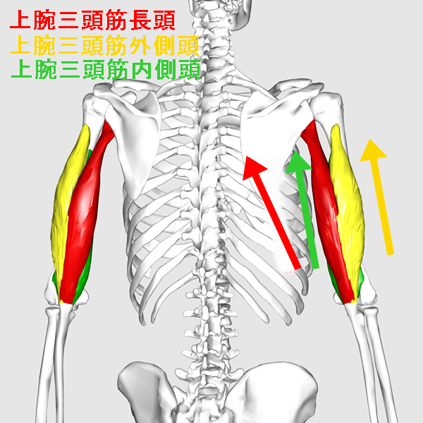 Triceps_brachii_muscle07_20161112084018bf4.png