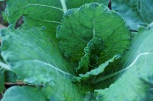cabbage-1374870_960_720.jpg