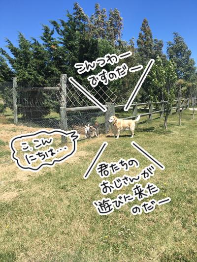 羊の国のラブラドール絵日記シニア!!「うわさの真相」1