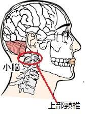 小脳 (2)