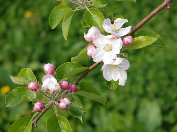 aomori-flower1.jpg
