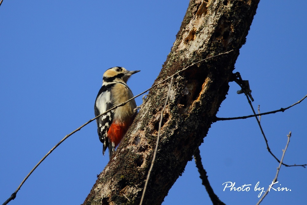 Great Spotted Woodpecker ♪