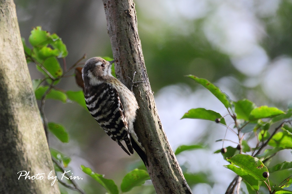 Japanese Pygmy Woodpecker ♪