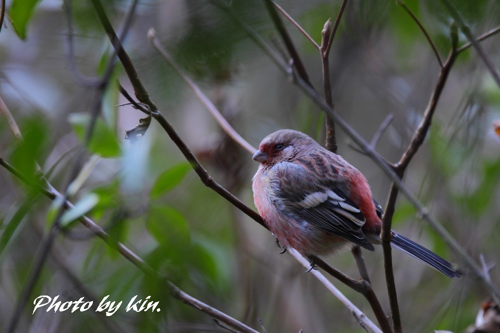 Long-tailed rosefinch ♪