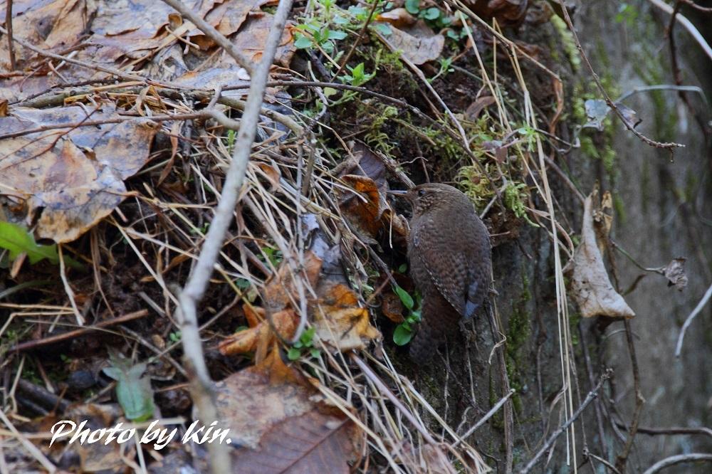 Eurasian wren ♪