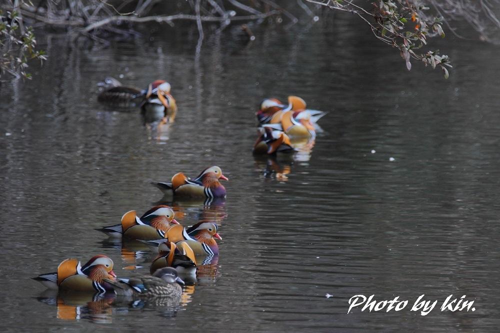 Mandarin duck ♪