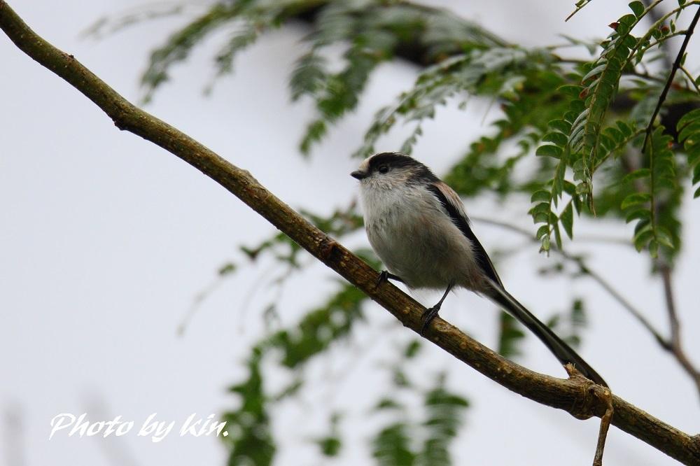 Long-tailed tit ♪ ~MFエナガ~