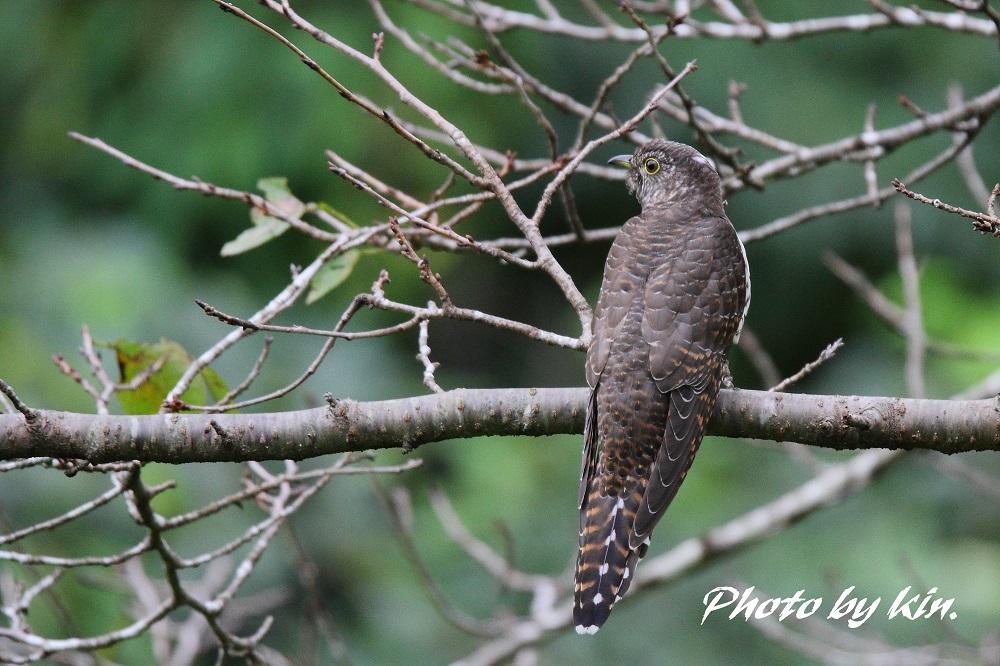 Oriental cuckoo ♪ ~赤ツツ~