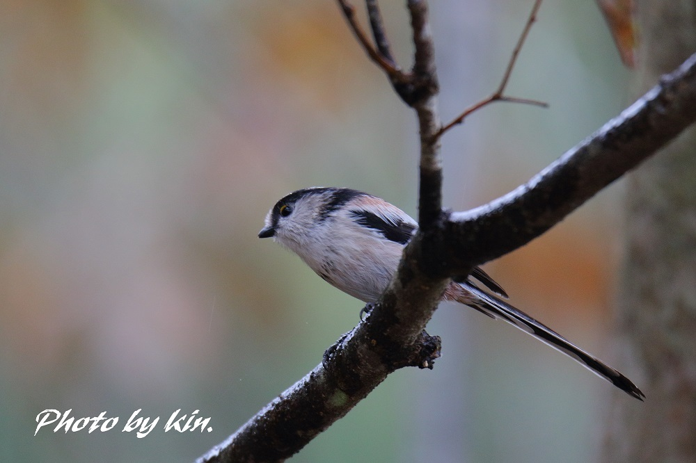 Long-tailed tit ♪ ~MFエナガ PART2~