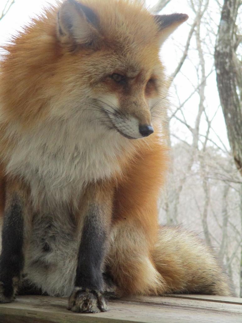 fox048.jpg