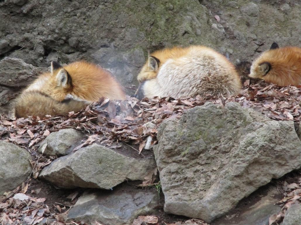fox135.jpg