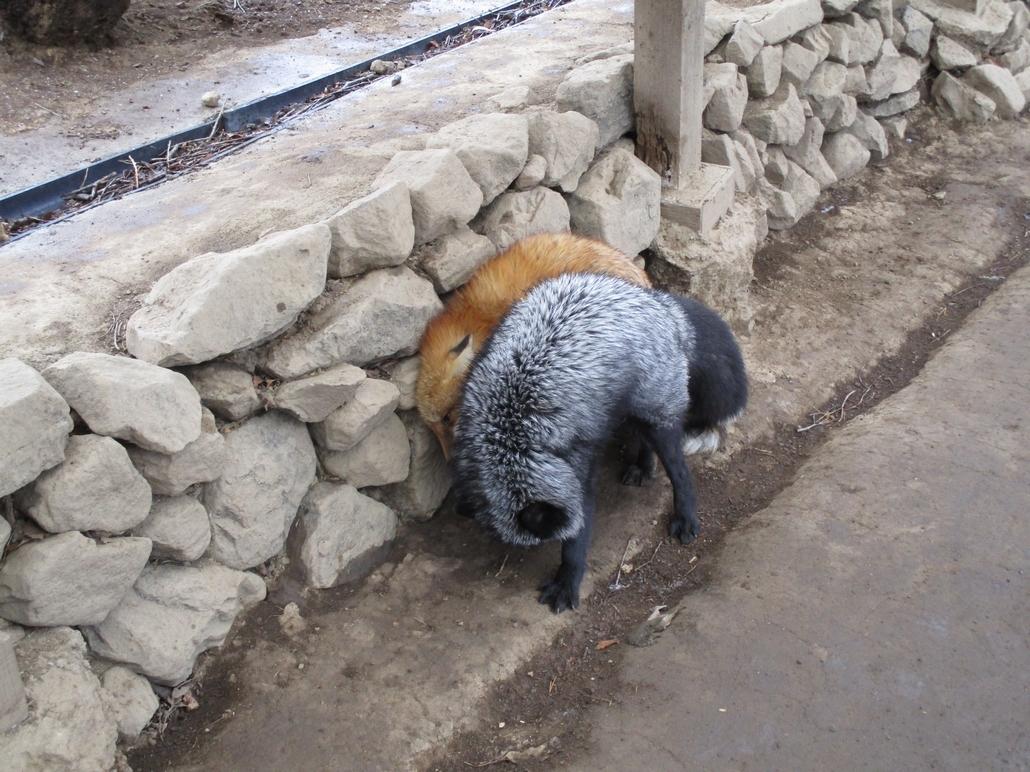 fox179.jpg