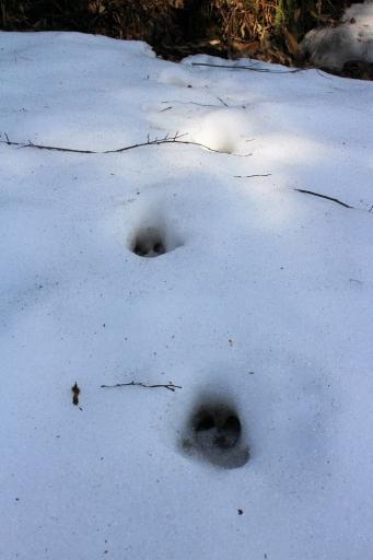 イノシシの足跡?