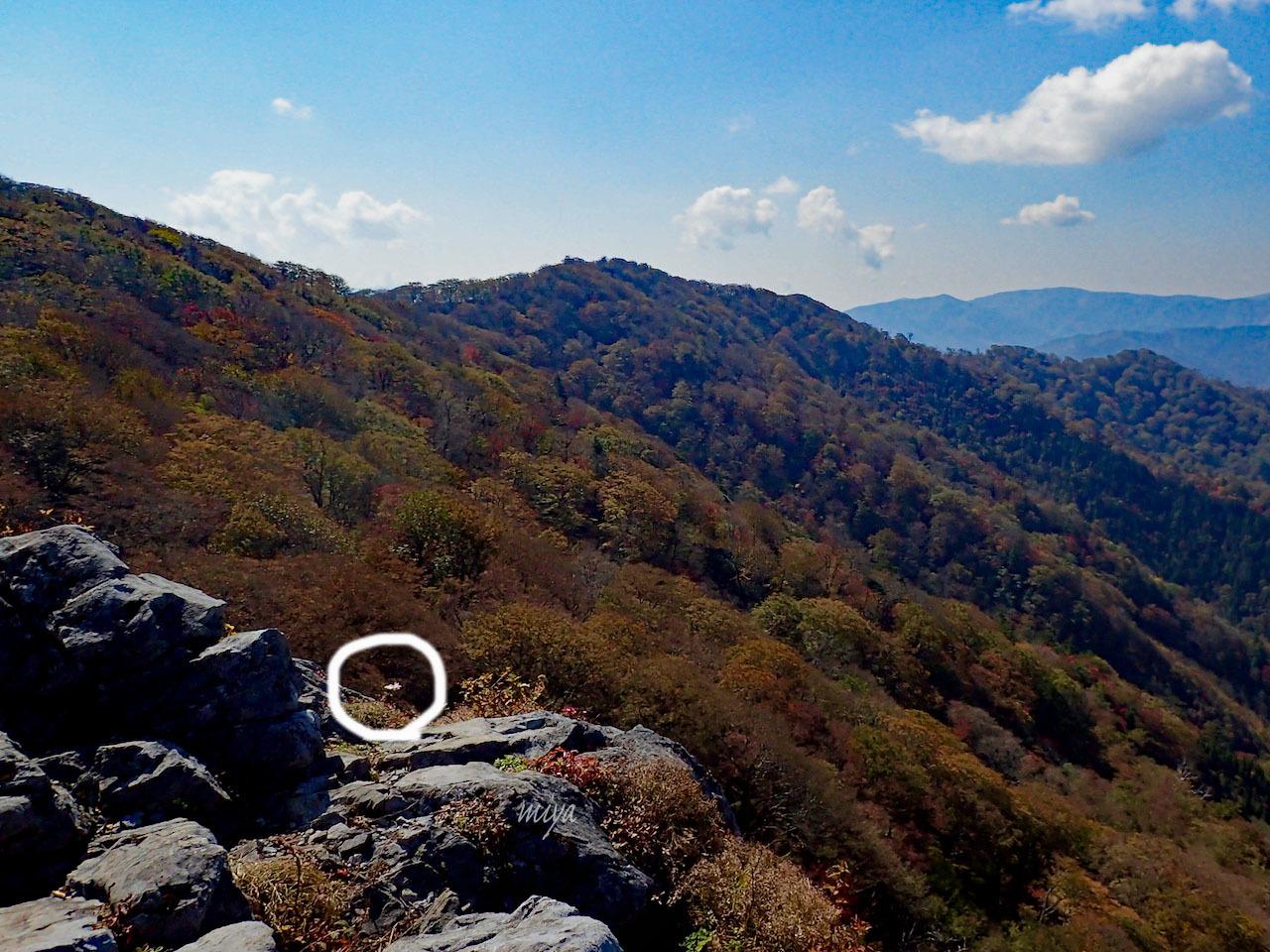 岩ギクmPA180177