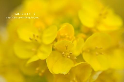 寒咲花菜4