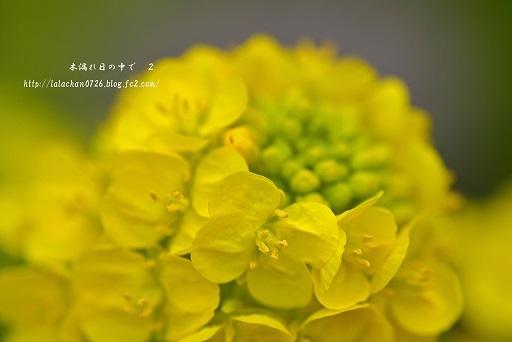 寒咲花菜7