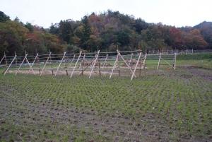 161117脱穀を終えた2まいの田