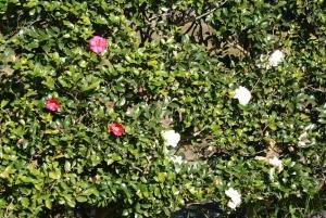 161121さざんかの花