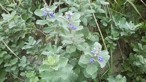 181002海岸の植物の花