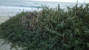 181002海岸の植物1