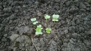 181011大根の芽