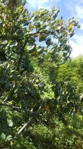 181013柿の木1の1
